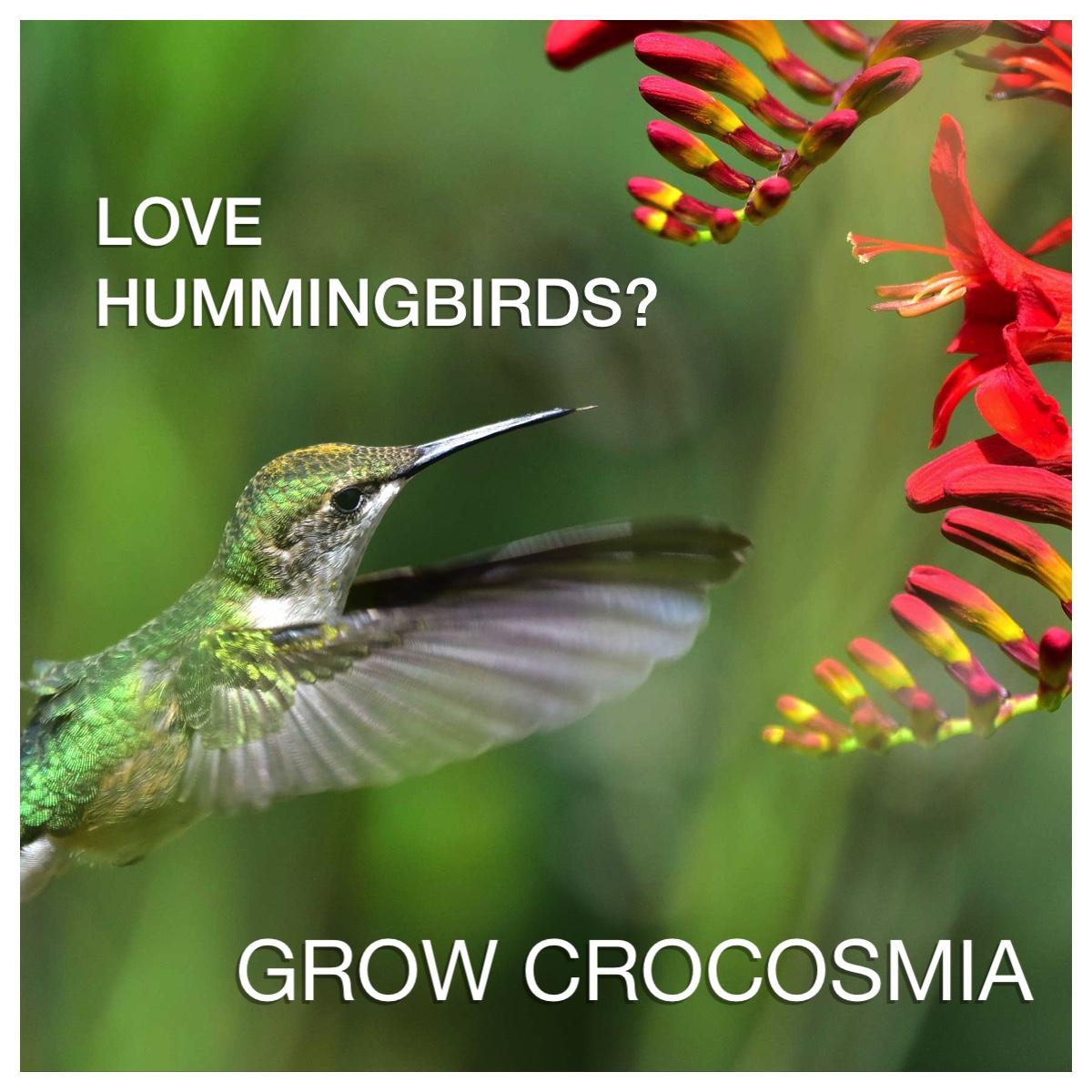 Grow Crocosmia for Hummingbirds - Longfield Gardens