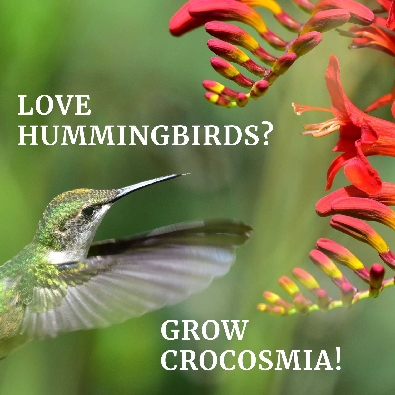 Love Hummingbirds Grow Crocosmia Longfield Gardens