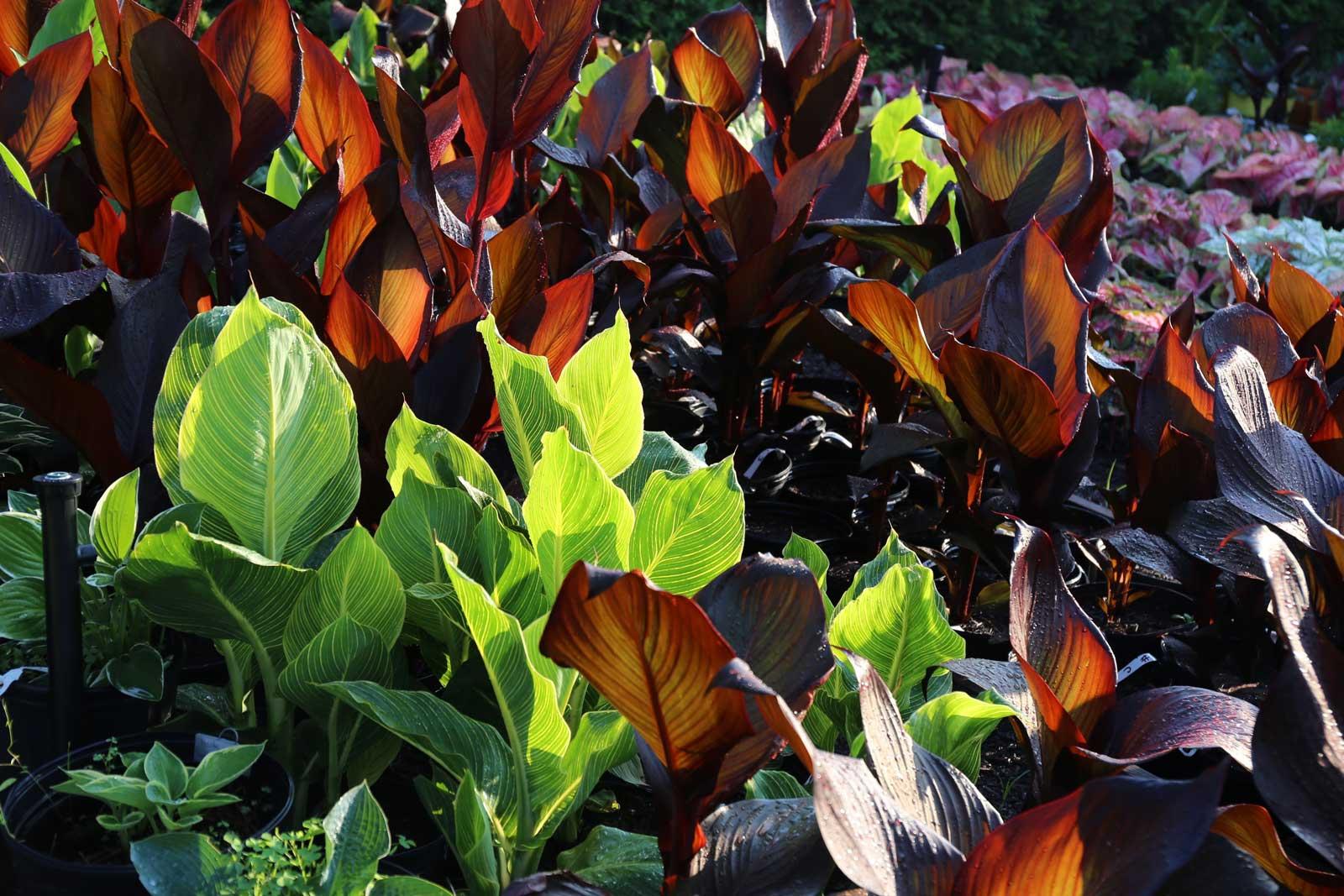 Trial-Garden-Update-Cannas-Longfield-Gardens