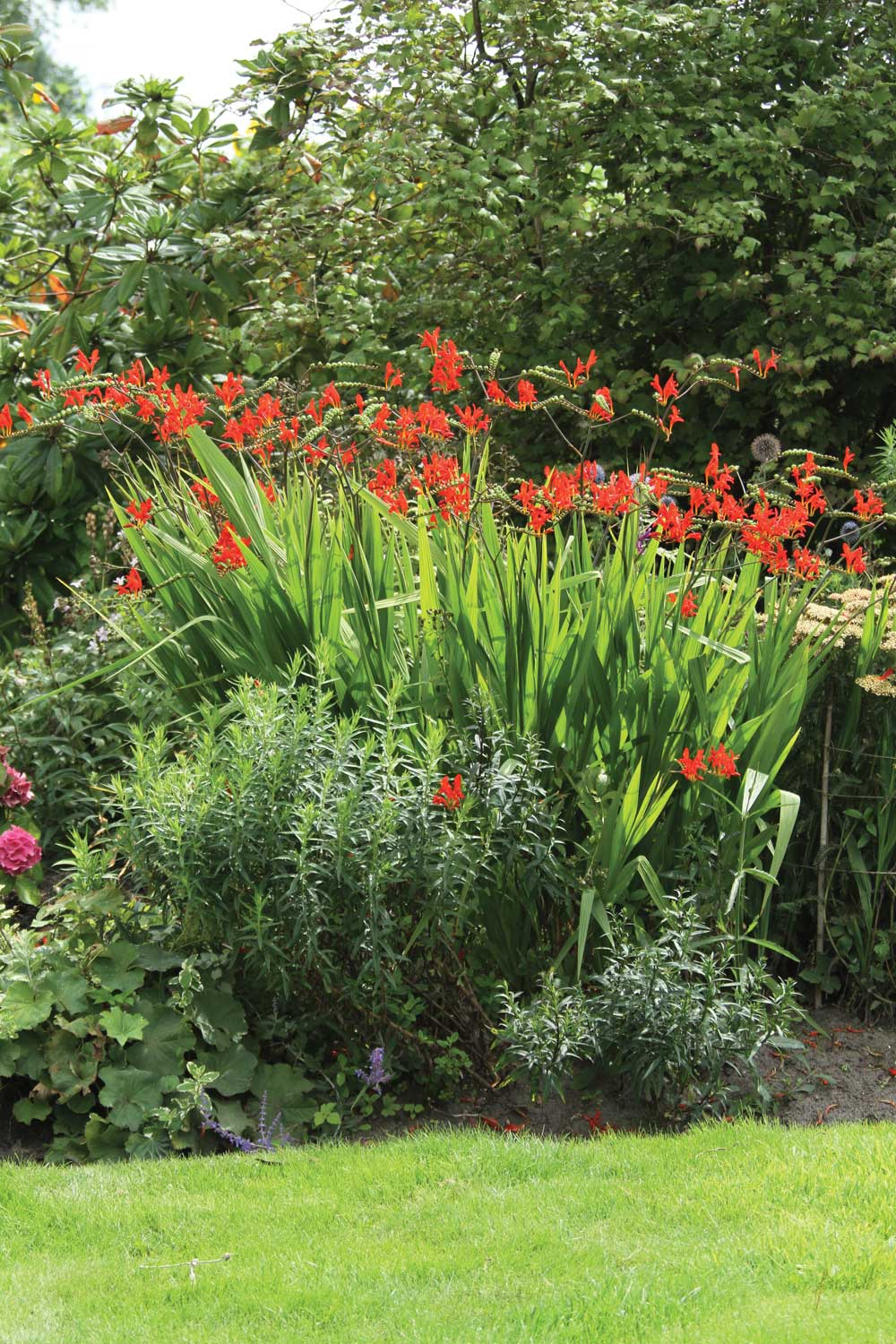 Grow Crocosmia for Hummingbirds - Longfield Gardens