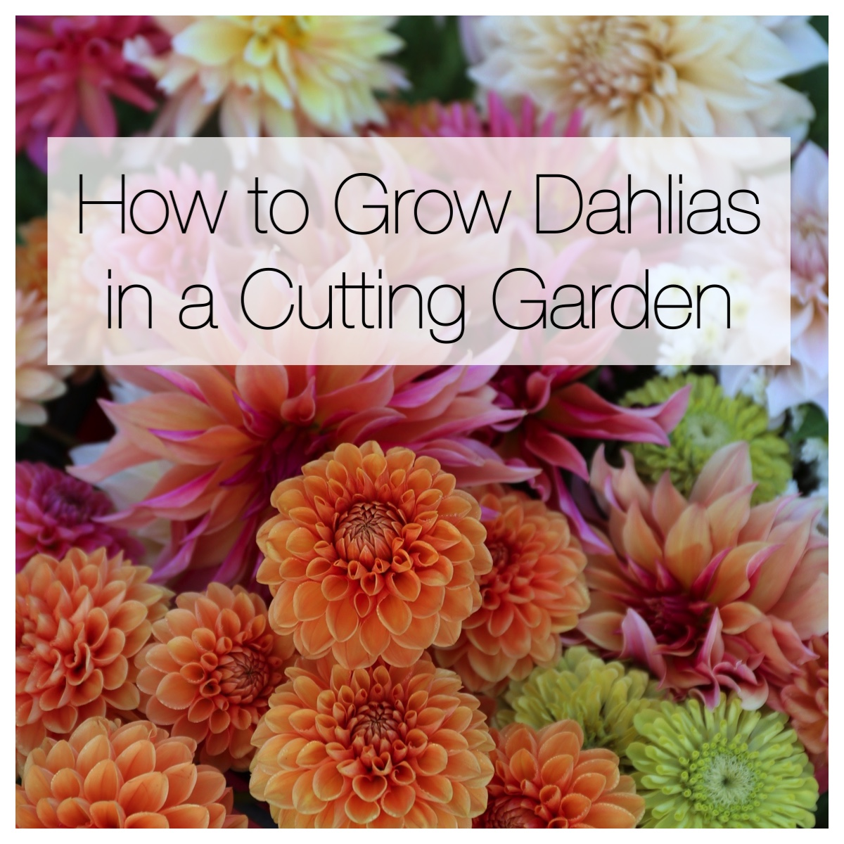 How to Grow Dahlias in a Cutting Garden