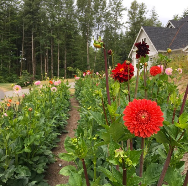 How to Grow Dahlias in a Cutting Garden - Longfield Gardens