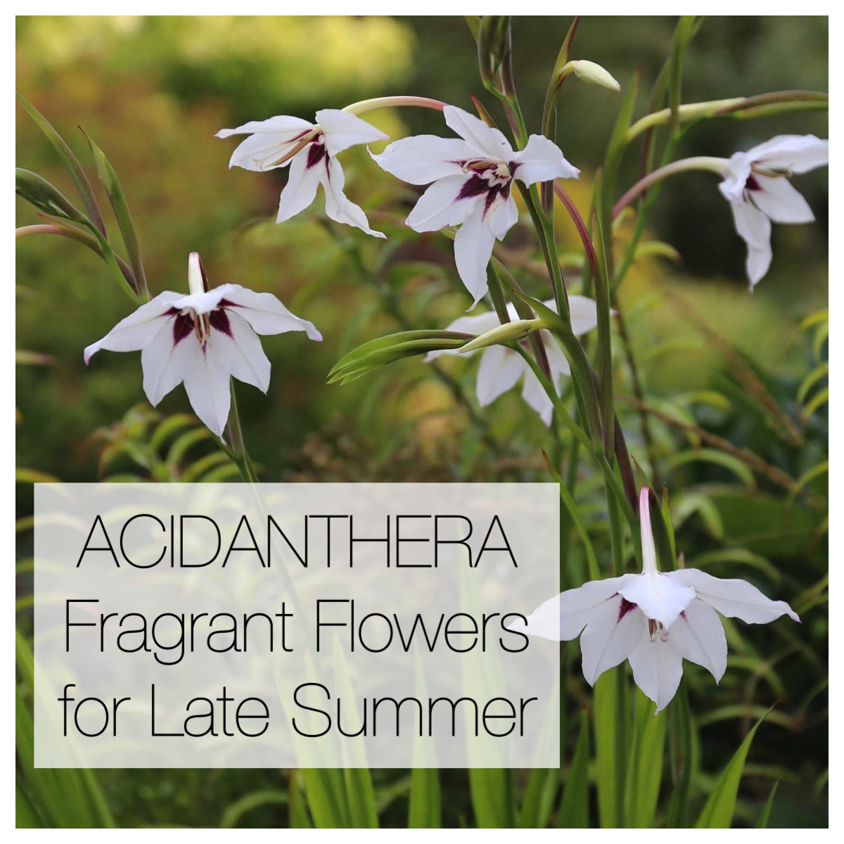 Acidanthera fragrant flowers for late summer - Longfield Gardens