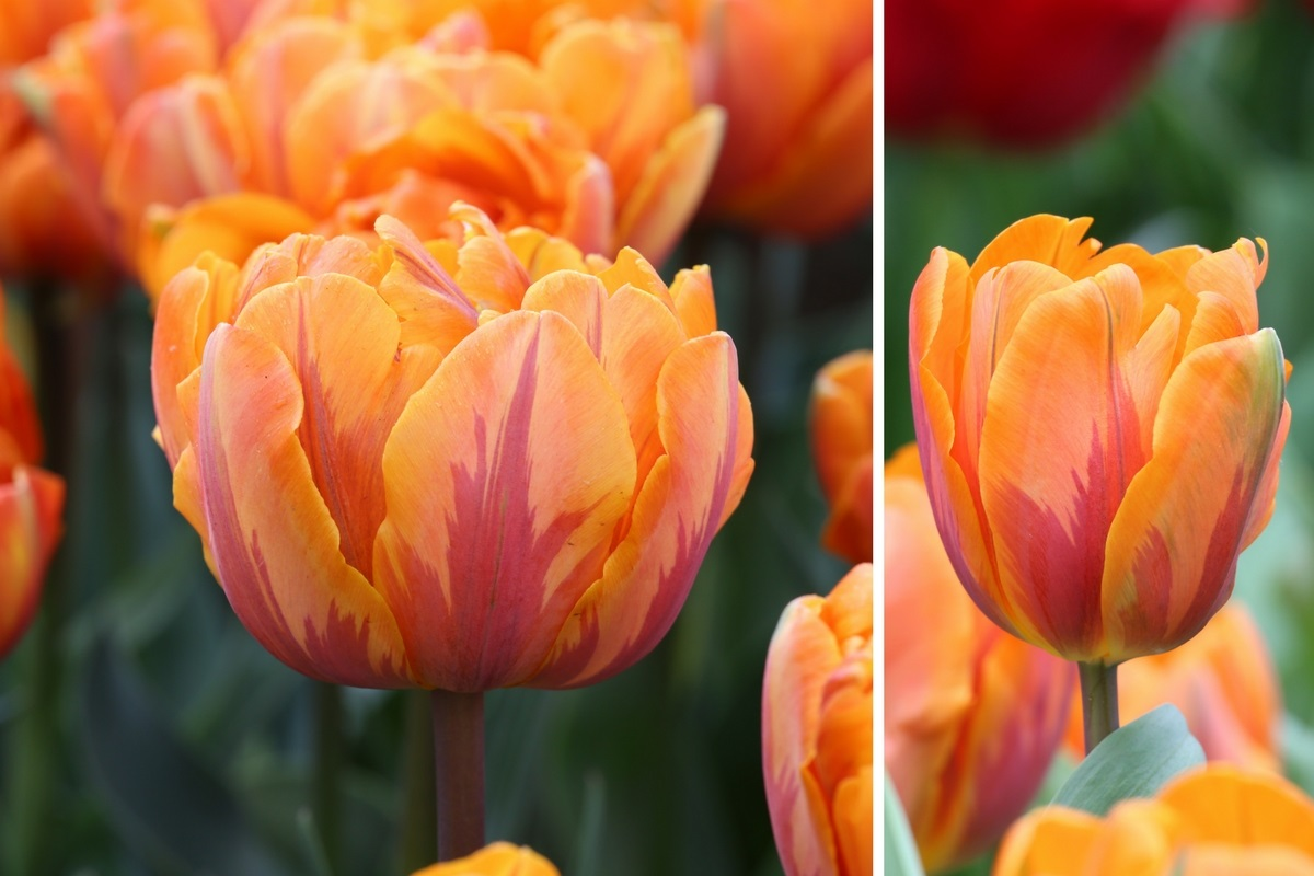Striped Tulips in the Spotlight - Longfield Gardens