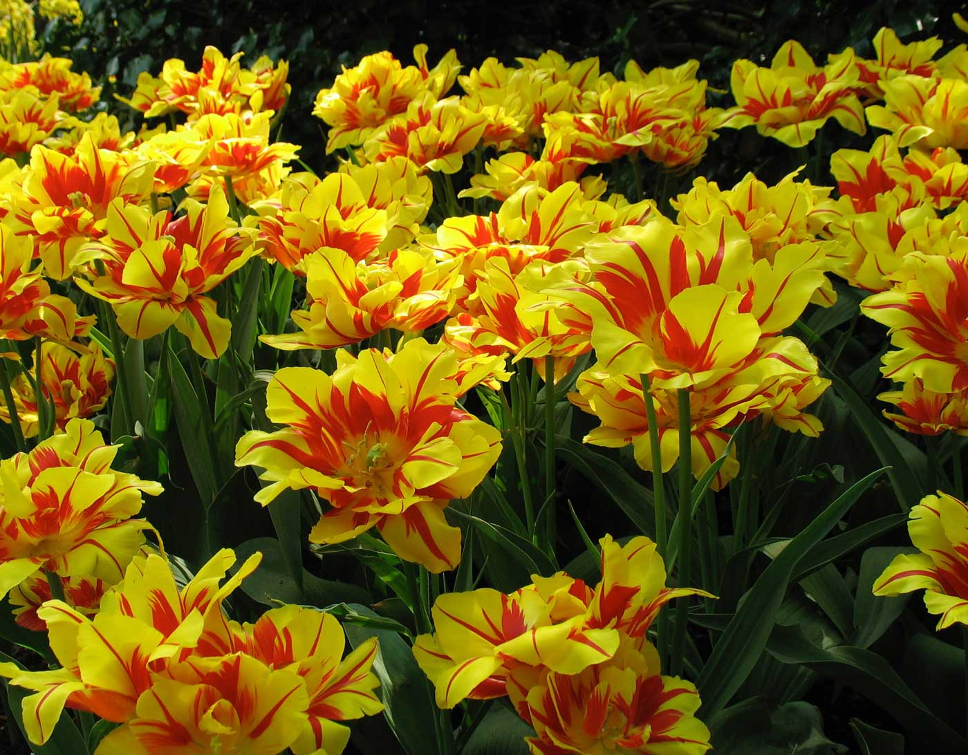 Striped tulips in the spotlight longfield gardens tulips with red and yellow stripes mightylinksfo