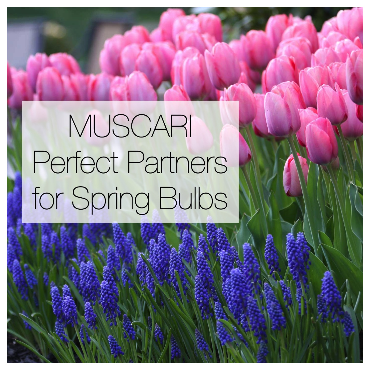 Muscari: Perfect Partners for Spring Bulbs