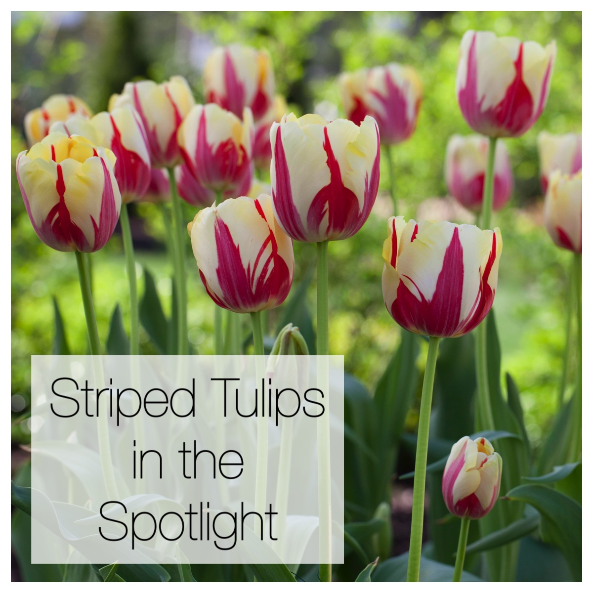 Striped Tulips in the Spotlight
