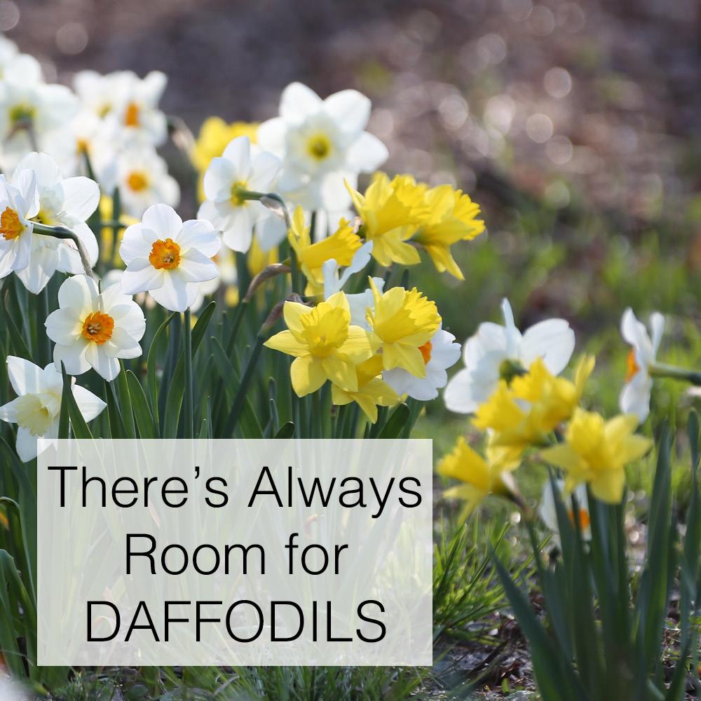 Daffodil_Blog