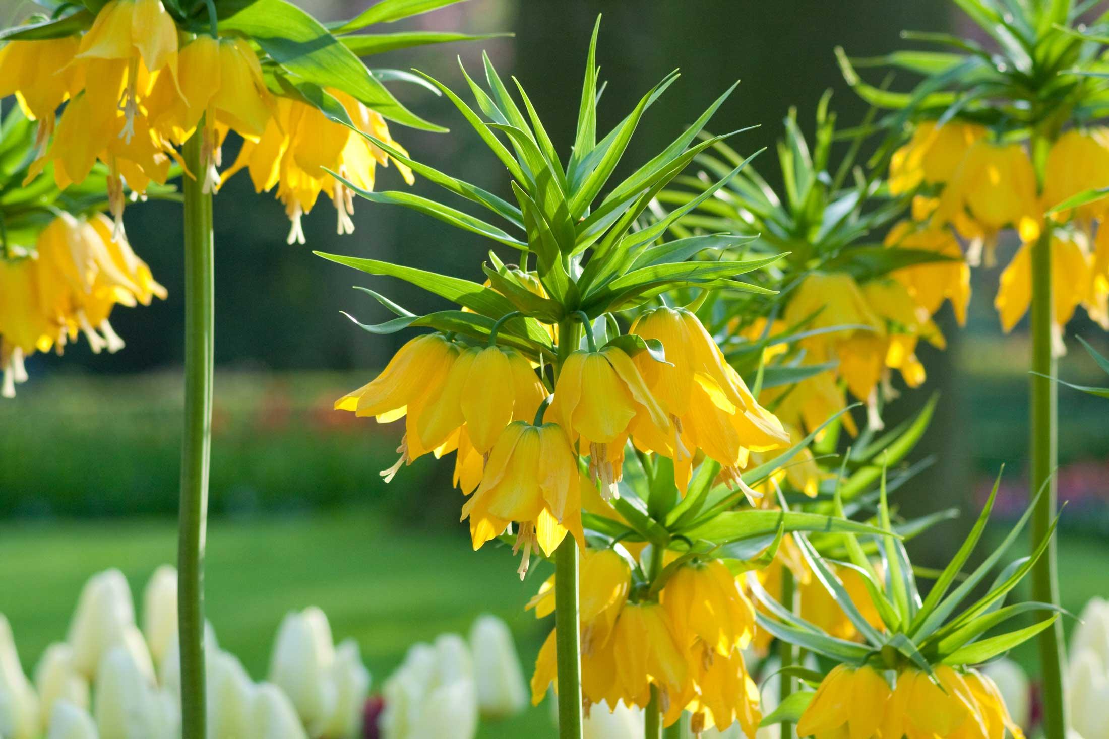 Crown Imperials - Fritillari-imperialis - Longfield Gardens