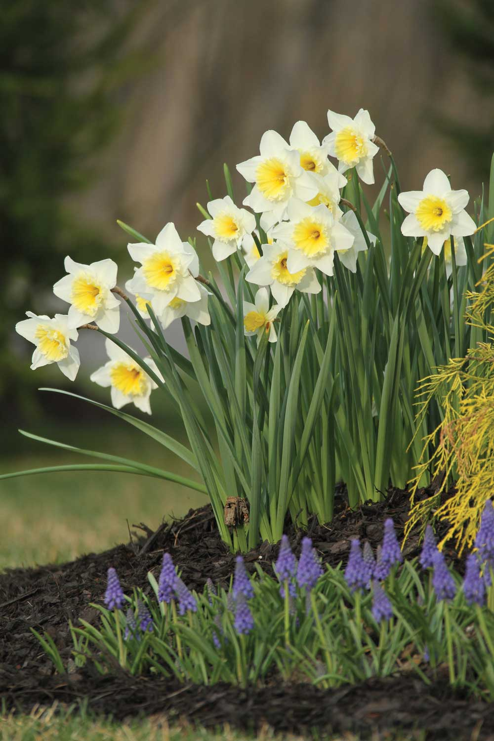 There's Always Room for Daffodils - Longfield Gardens
