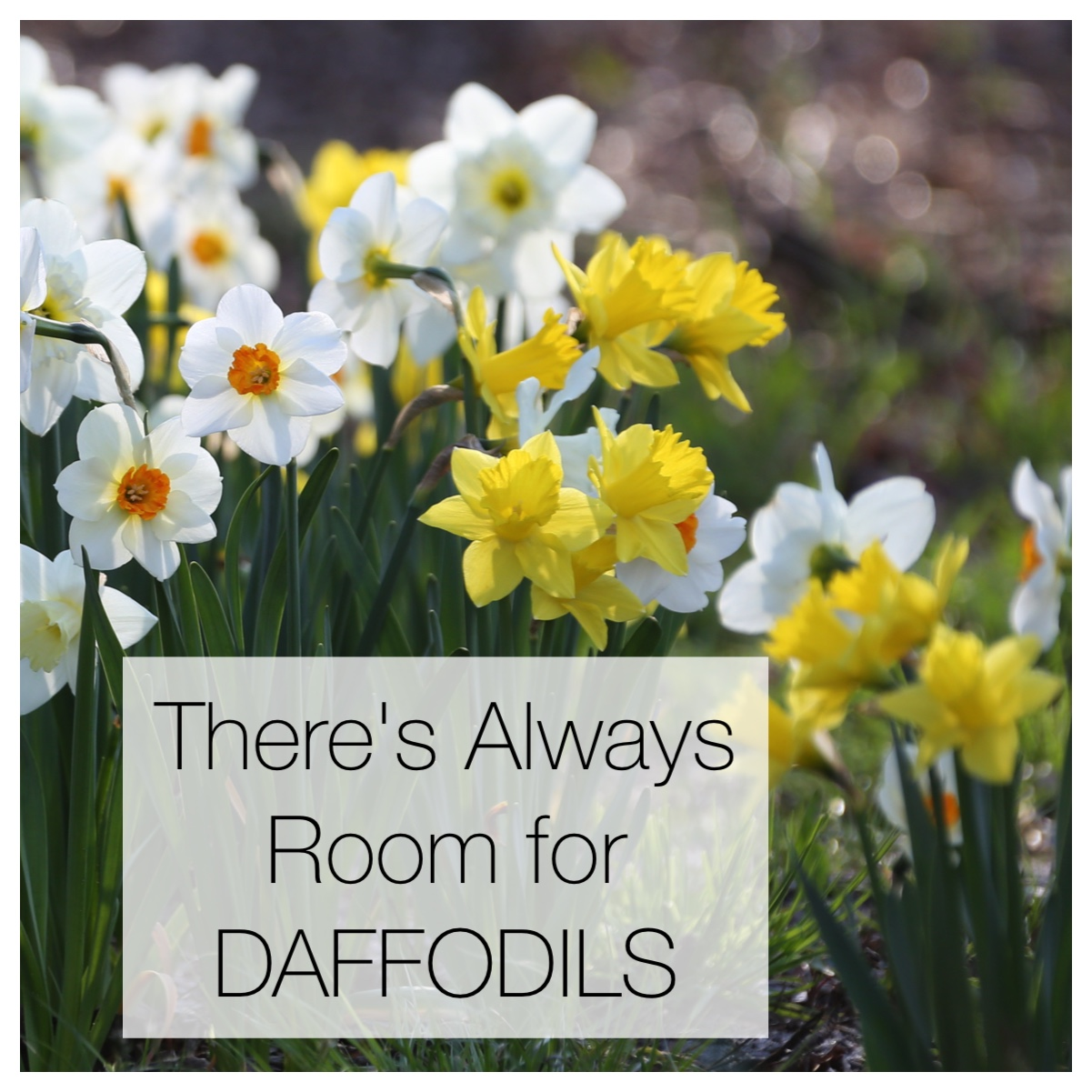 There's Always Room for Daffodils