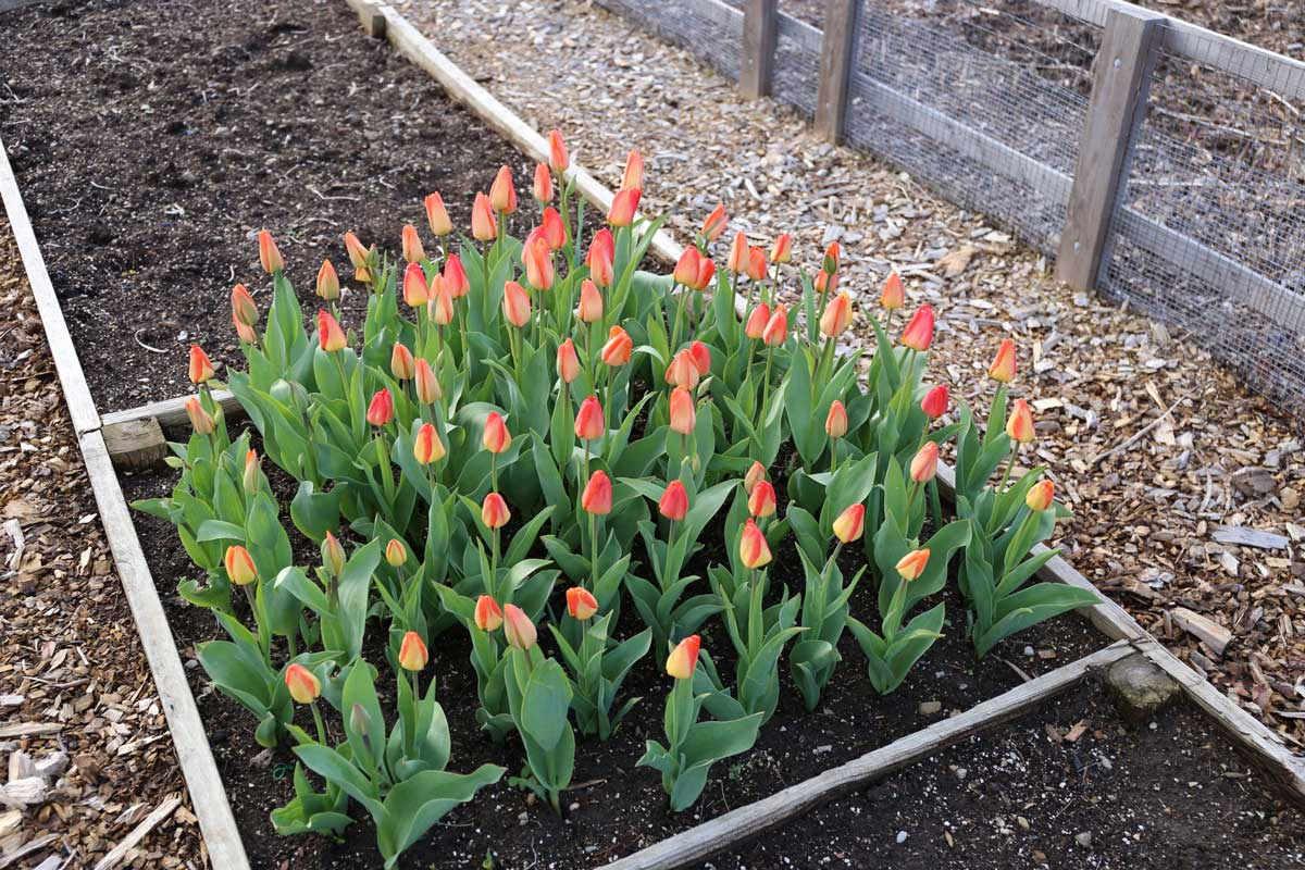 Out with Tomatoes in with Tulips - Longfield Gardens