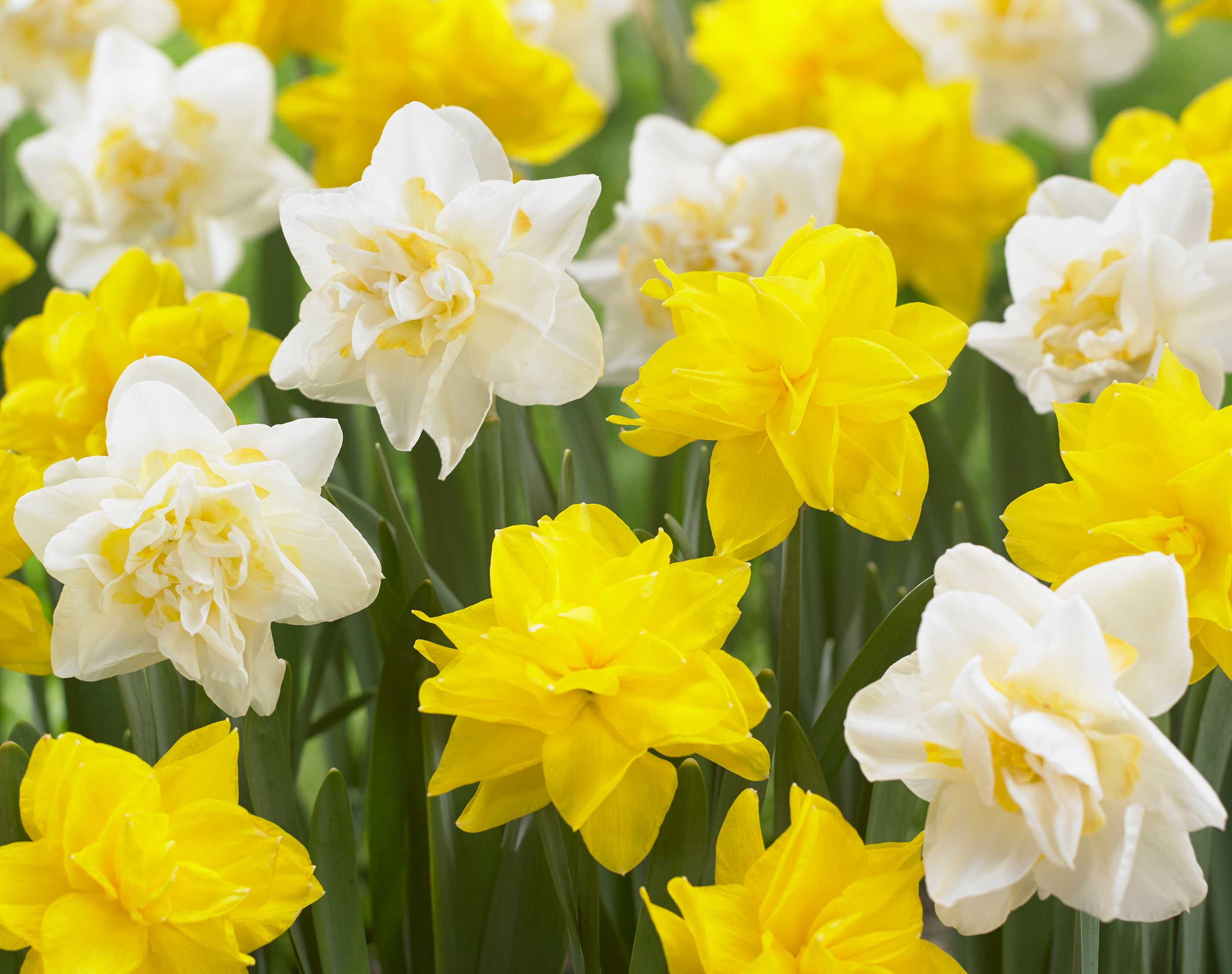 Discover The Beauty Of Double Daffodils Longfield Gardens