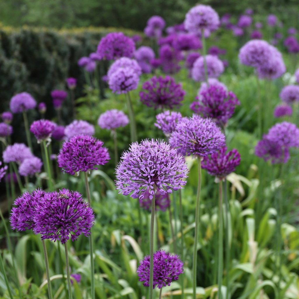 Planning Guide for Alliums - Longfield Gardens