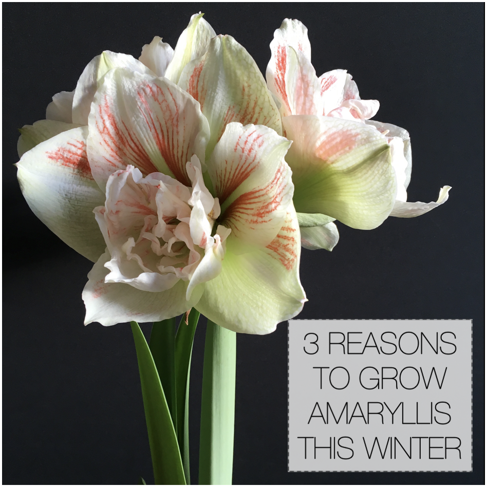 Three Reasons to Grow Amaryllis Bulbs This Winter