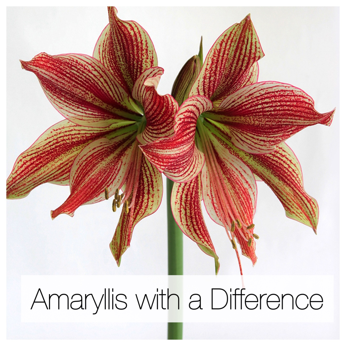 Amaryllis With a Difference: Unusual Colors and Flower Styles