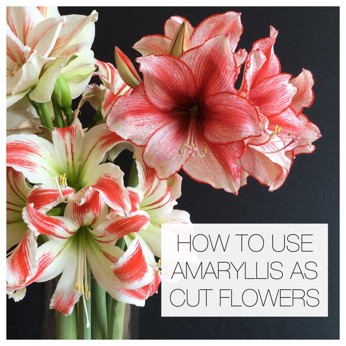 How to Use Amaryllis as Cut Flowers