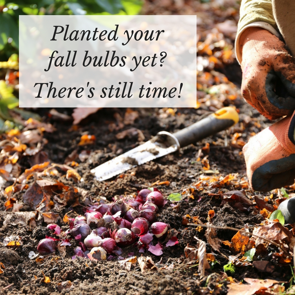 Planted Your Fall Bulbs Yet? - Longfield Gardens