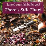 Planted Your Fall Bulbs Yet? There's Still Time!