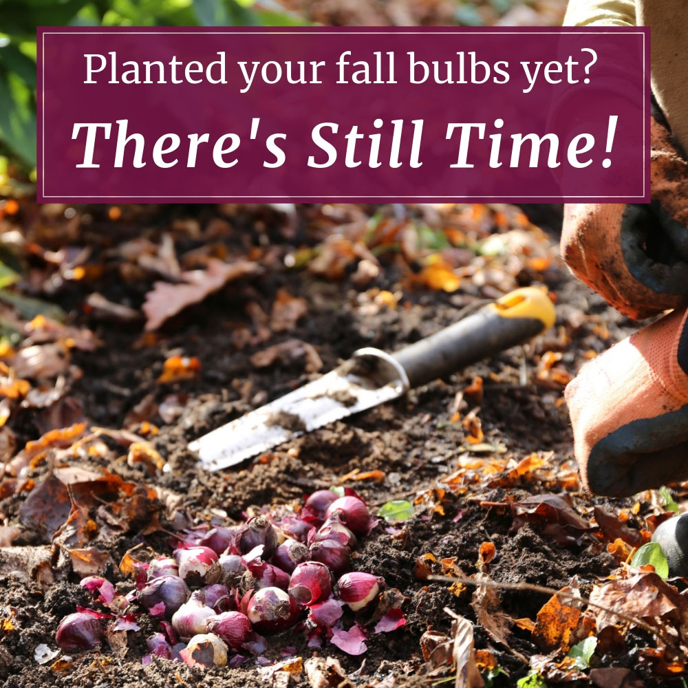Planted-Your-Fall-Bulbs-Yet_2