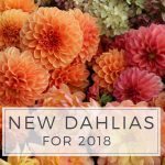 New Dahlias for 2018