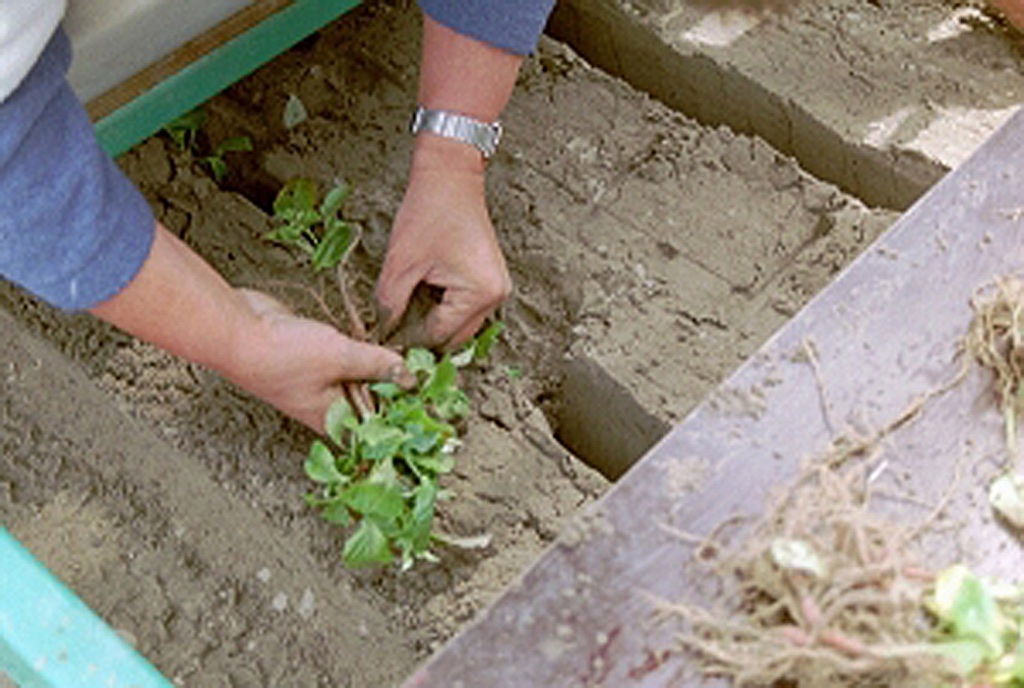 Dahlia planten met machine voorjaar6