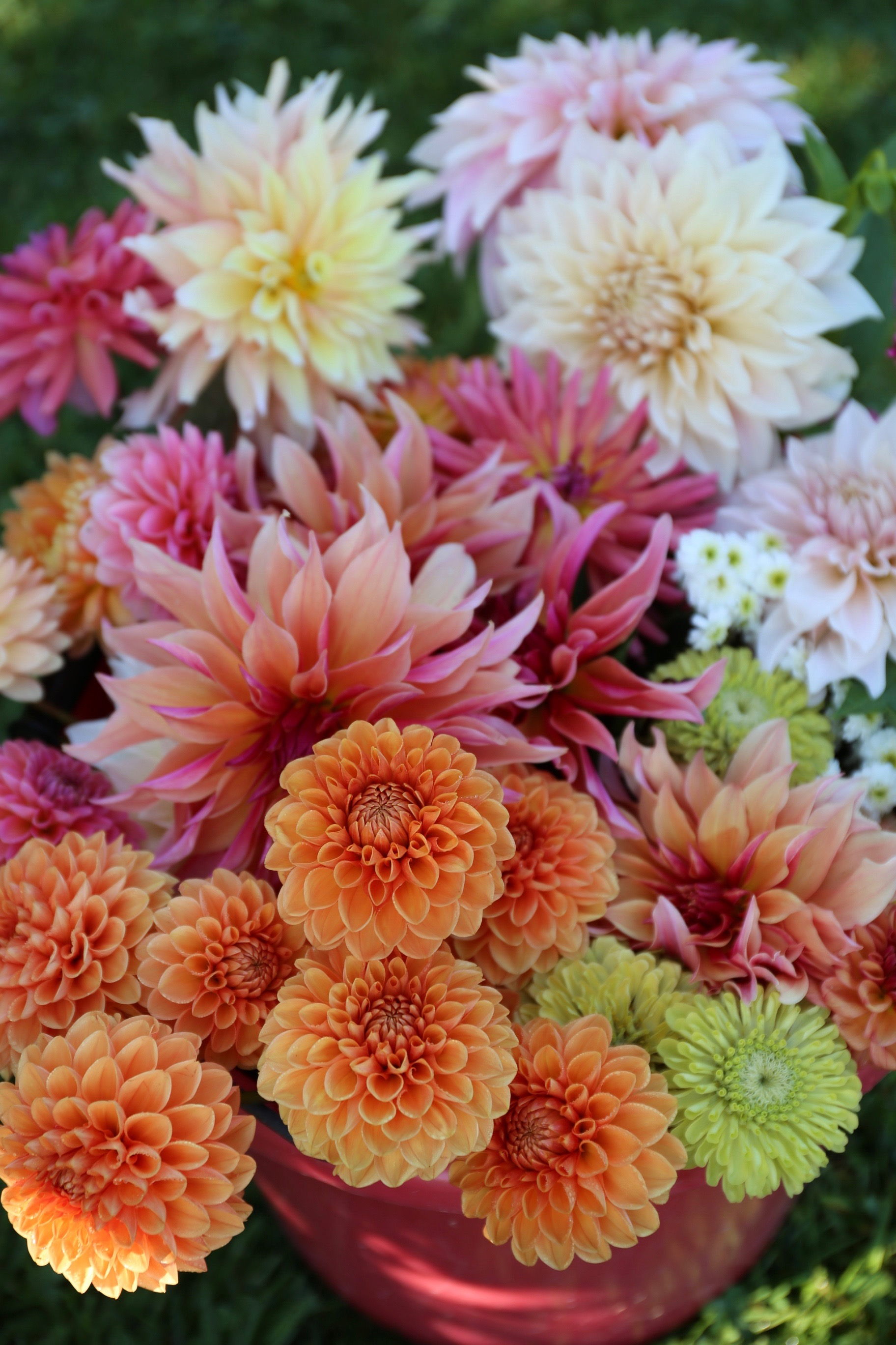Dahlias-why-you-can't-always-get-what-you-want-Longfield Gardens