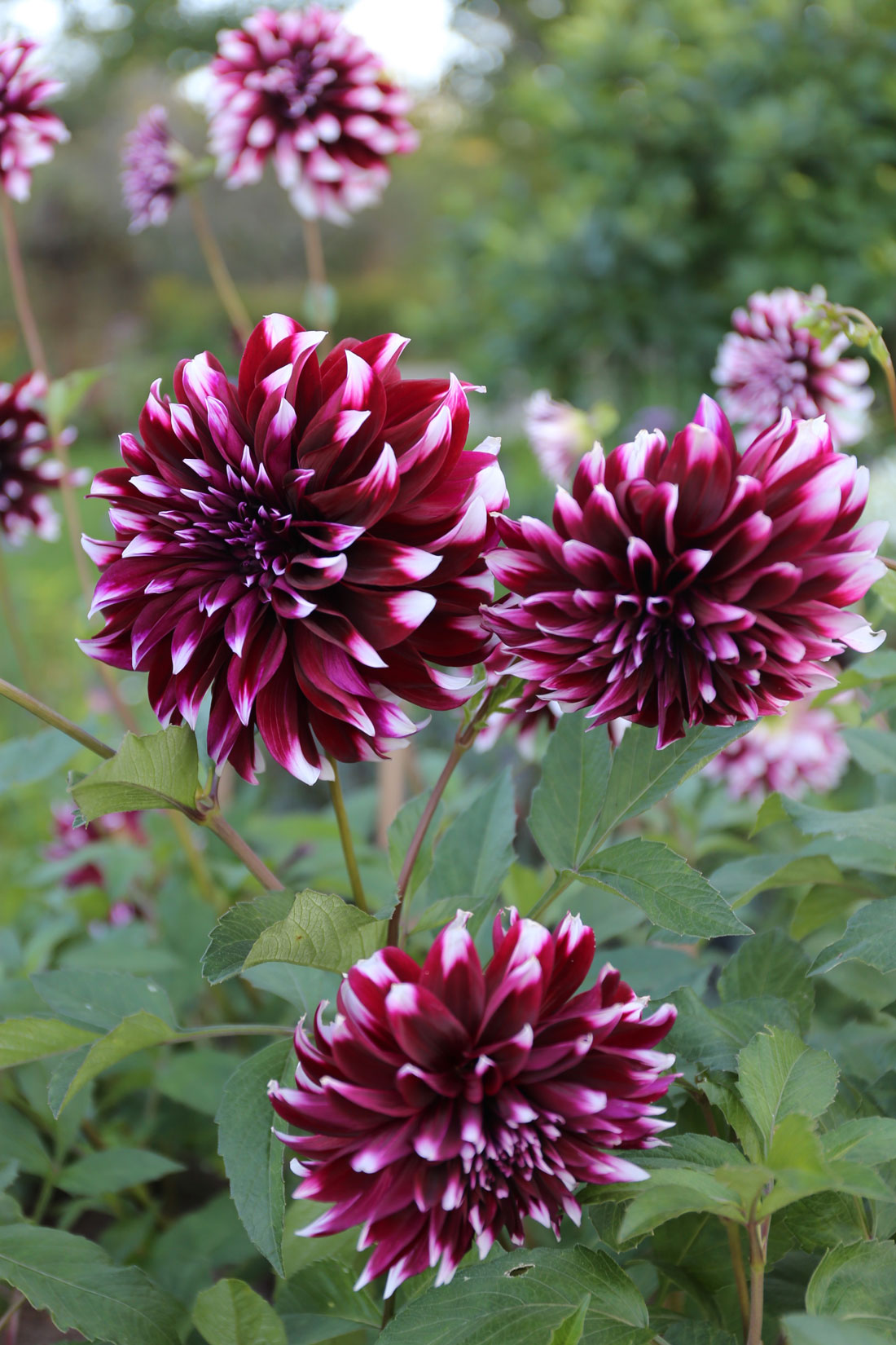 How a Floral Designer Chooses Flowers for Her Cutting Garden - Longfield Gardens
