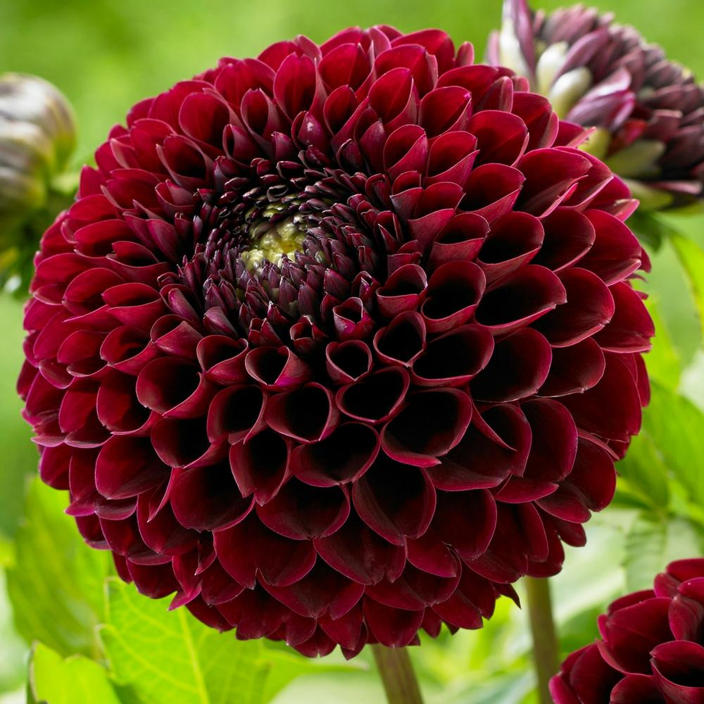 New-dahlias-for-2018 - Longfield Gardens