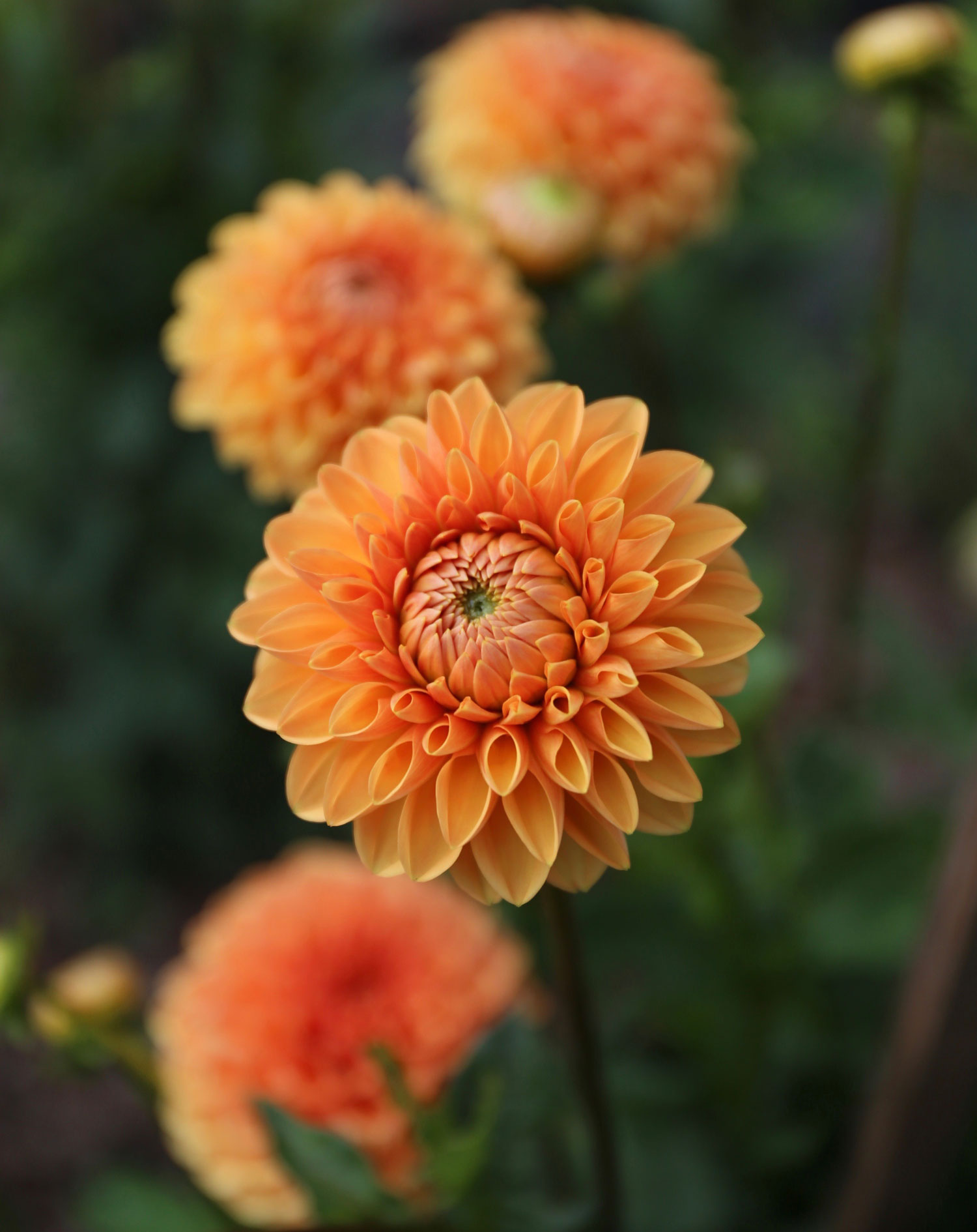 How to Design an Orange Flower Garden - Longfield Gardens