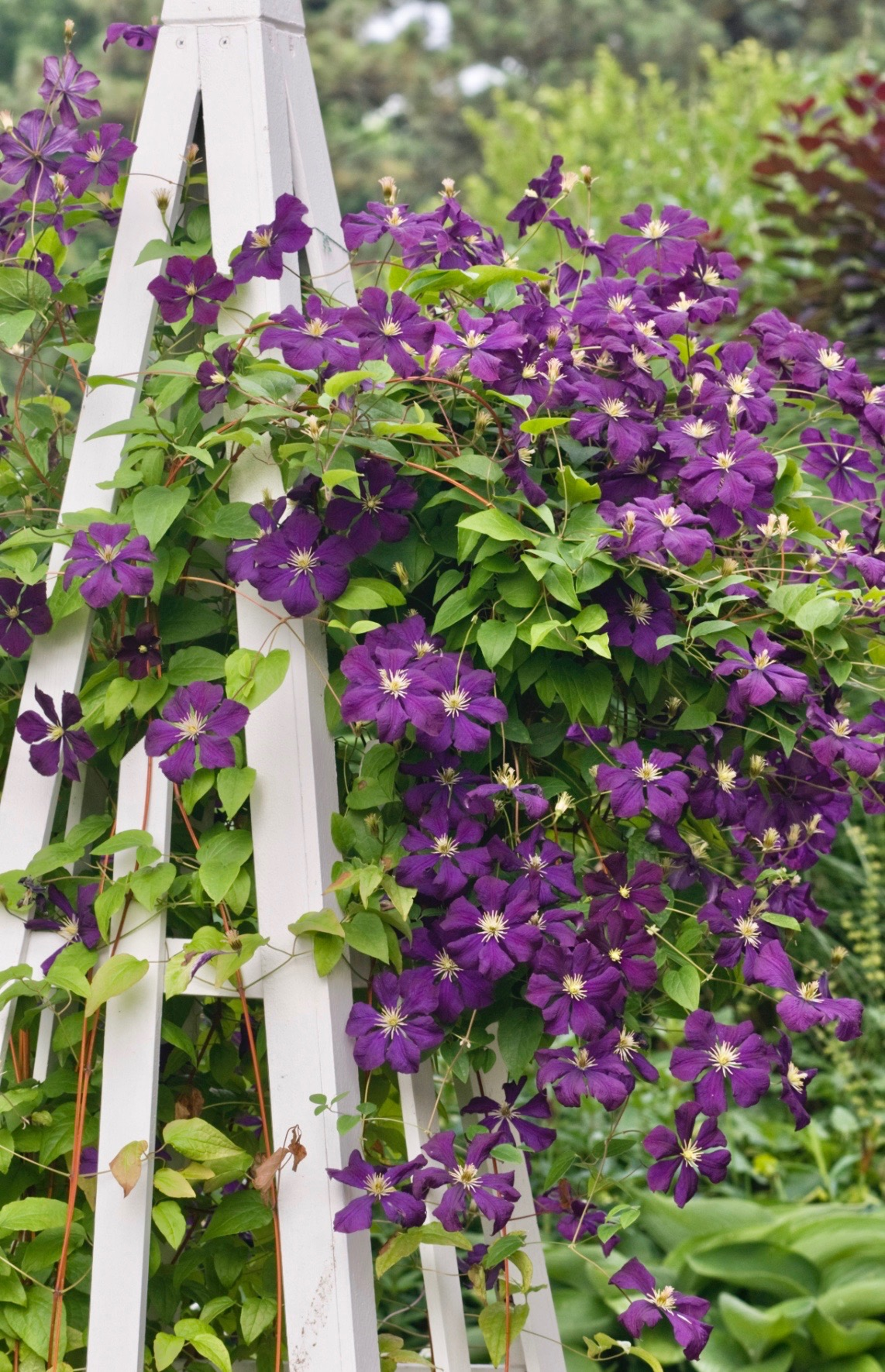 6-Tips-for-Growing-Clematis-Longfield-Gardens