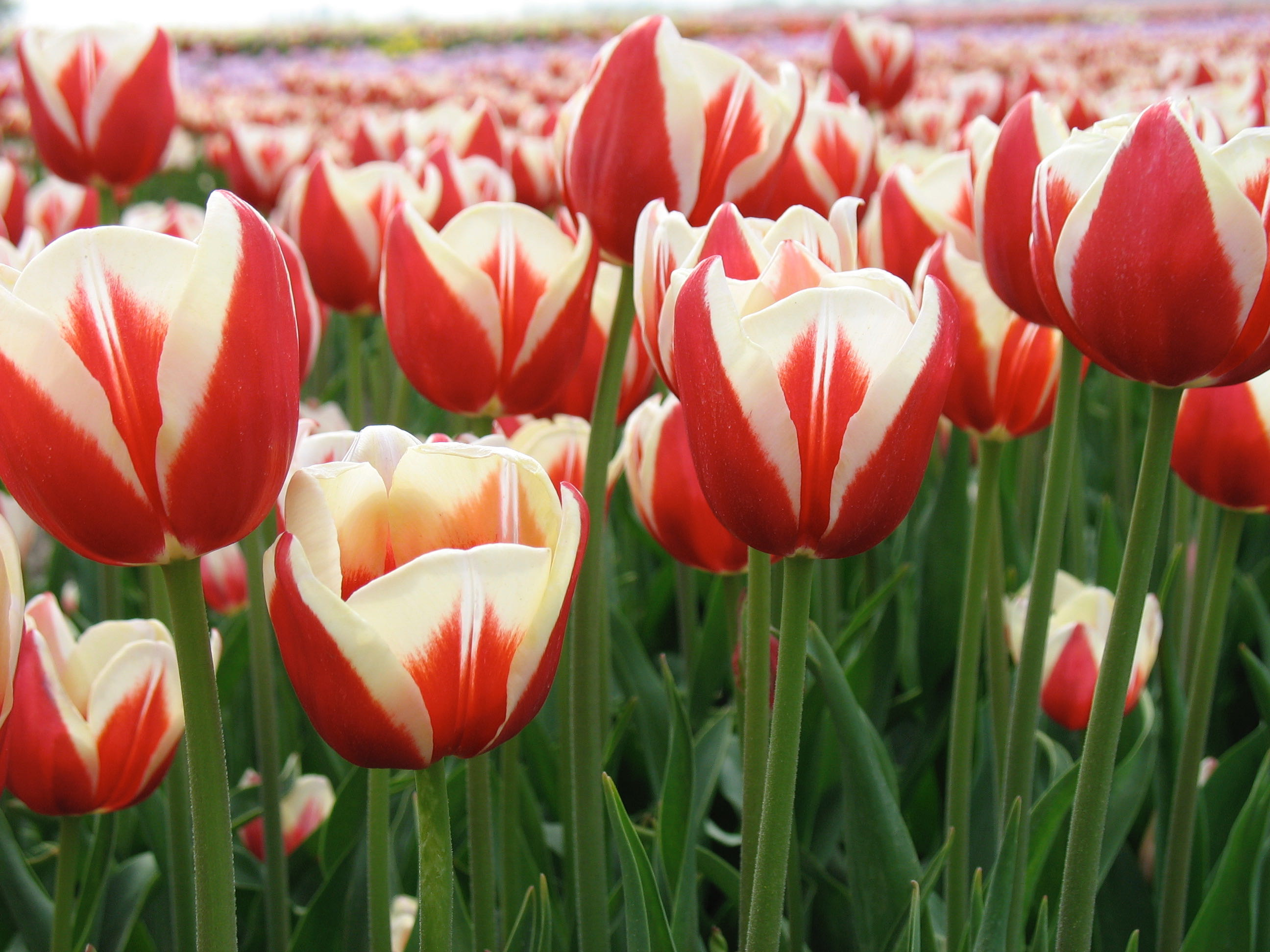 Year of the Tulip Five Ways to Celebrate - Longfield Gardens