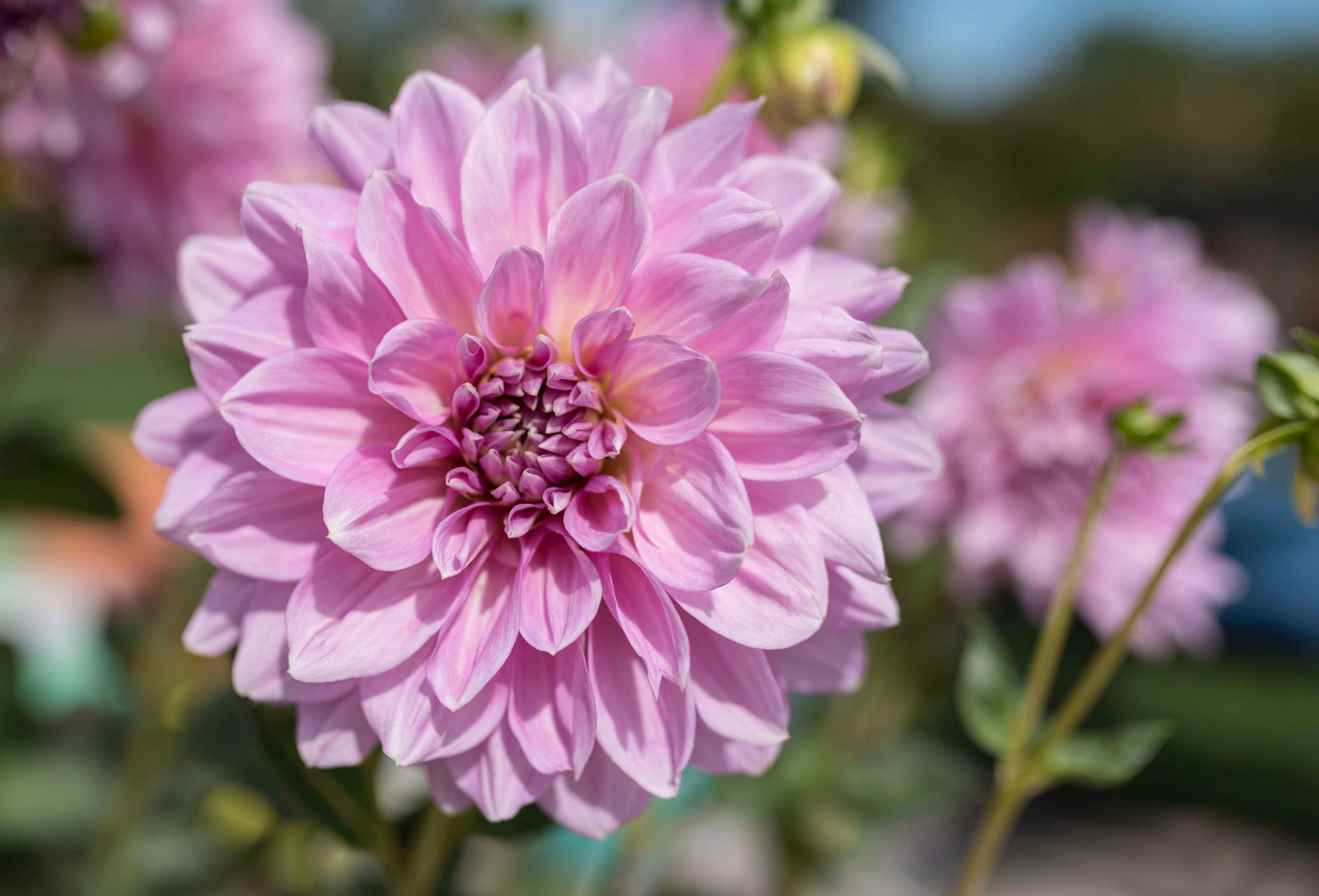 Dinnerplate Dahlias Tips for Success - Longfield Gardens