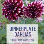 Dinnerplate Dahlias: Tips for Success