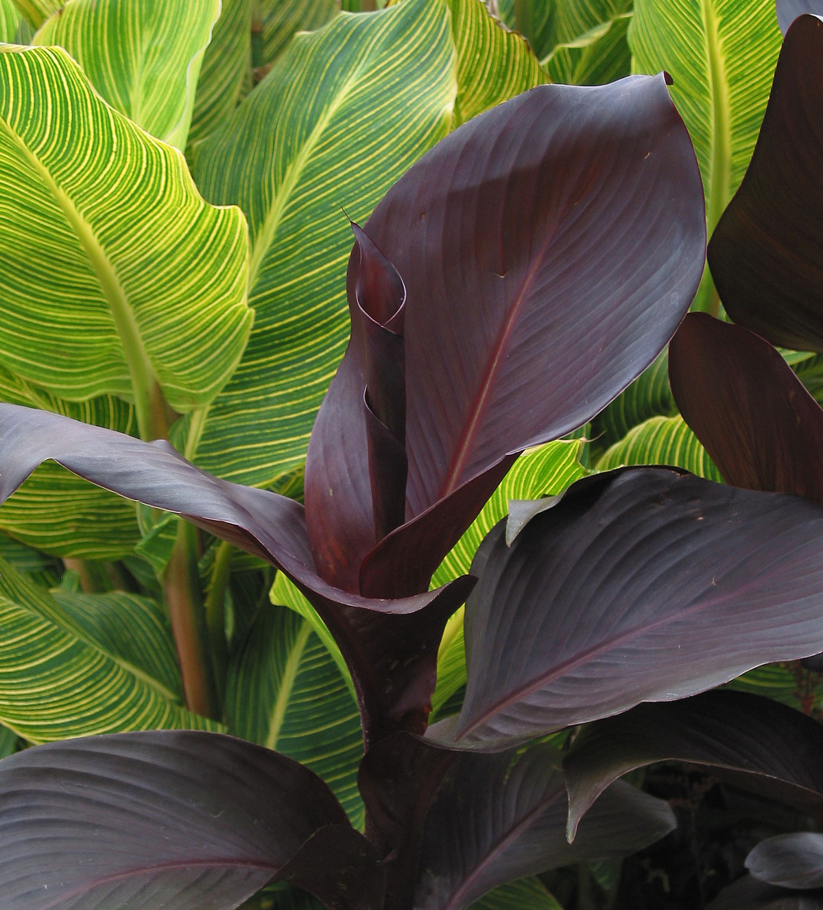 Tropicanna Wow Plants for Summer Gardens - Longfield Gardens