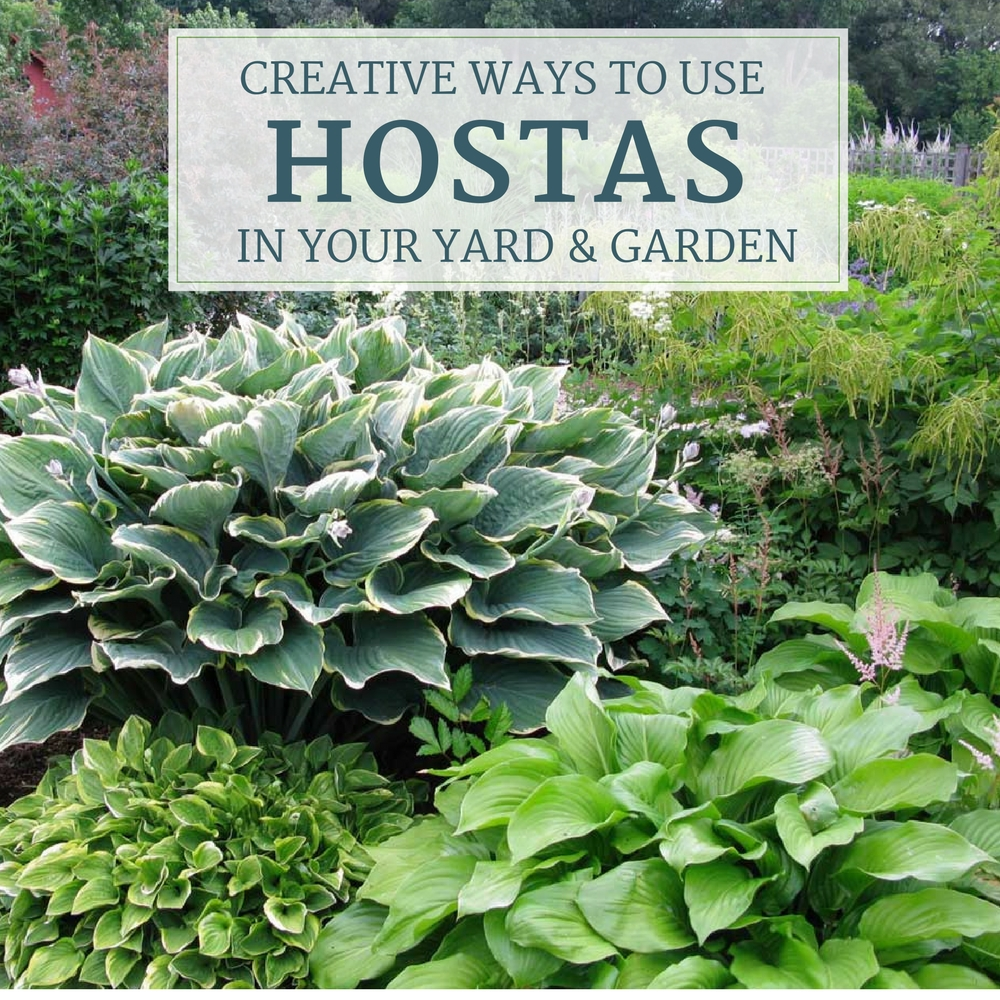 Creative Ways to Use Hostas - Longfield Gardens