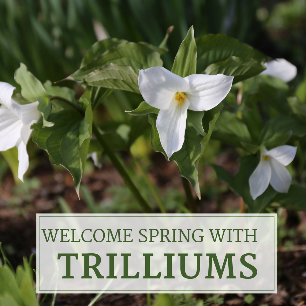 Welcome Spring With Trilliums - Longfield Gardens