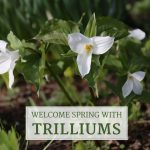 Welcome Spring With Trilliums