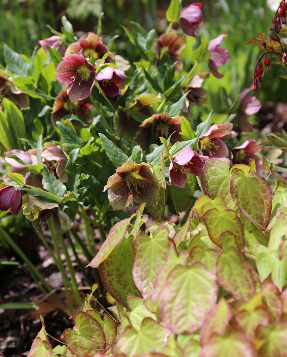 How to Use Burgundy Flowers and Foliage - Longfield Gardens