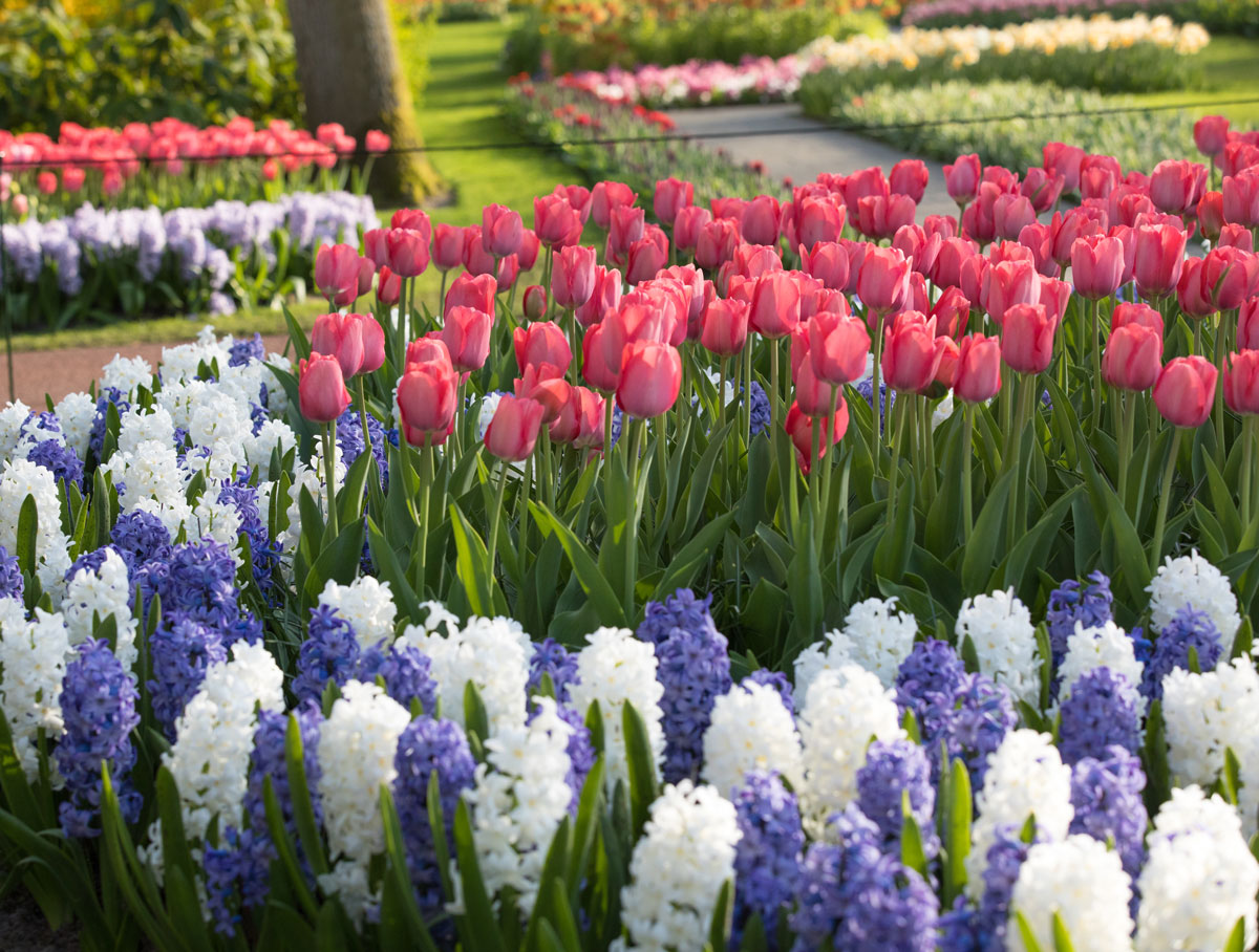 Spring is in Bloom at Keukenhof in Holland - Longfield Gardens