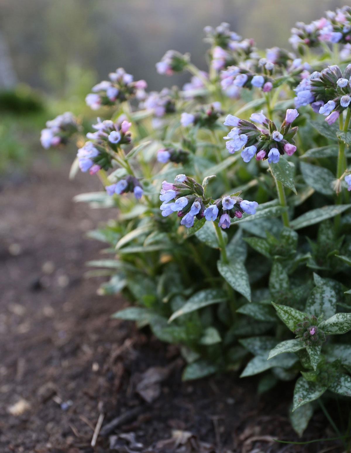 Perennials for Spring Gardens - Longfield Gardens