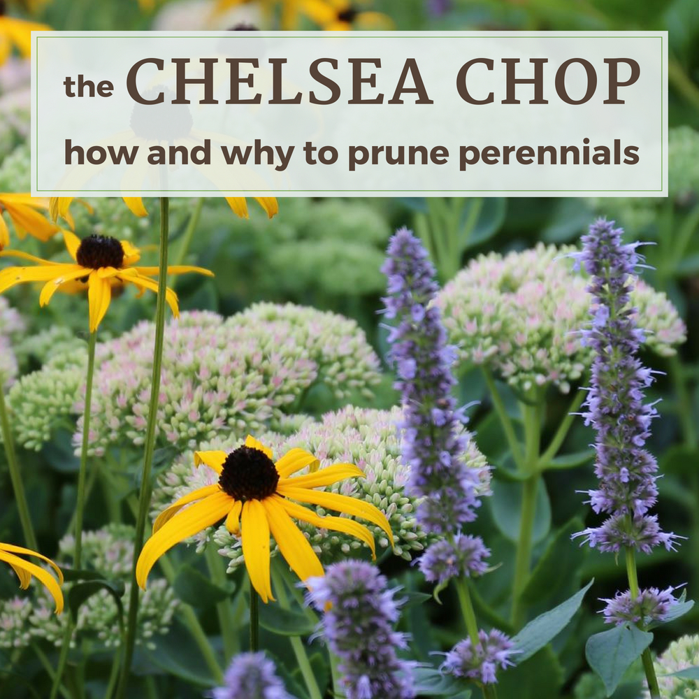 The Chelsea Chop_ How and Why to Prune Perennials - Longfield Gardens