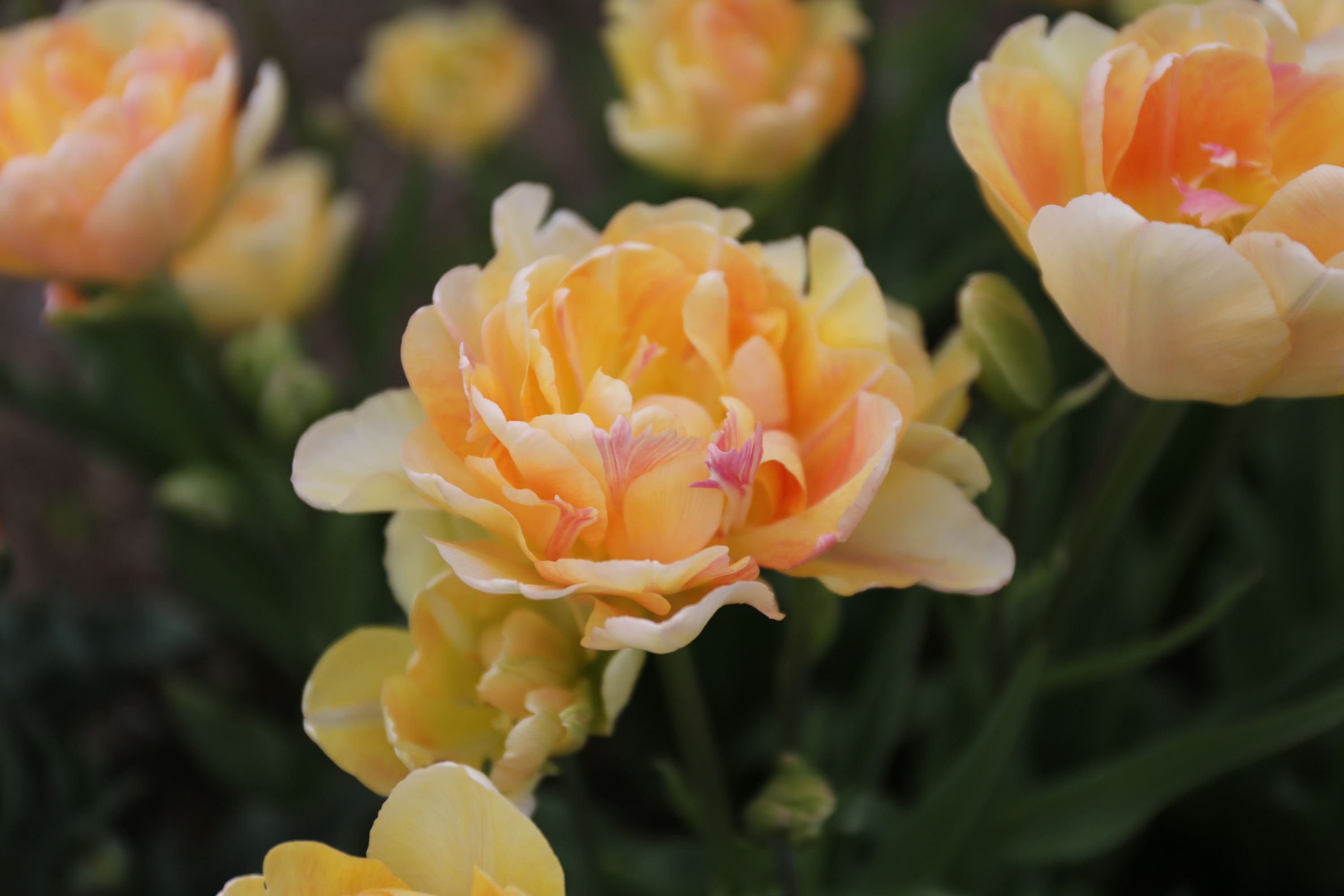 New-Flowers-for-your-Spring-Garden - Longfield Gardens