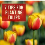 7 Tips for Planting Tulip Bulbs