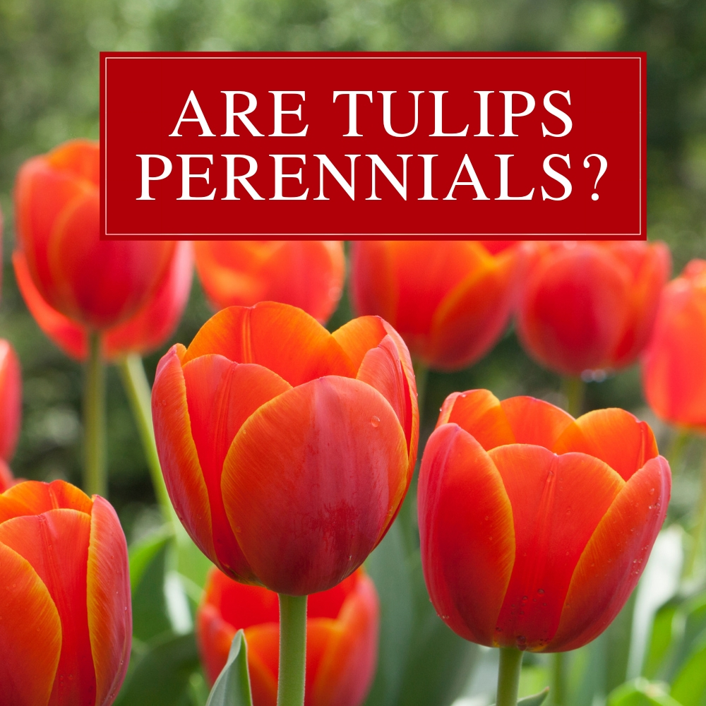 Are Tulips and Other Spring Bulbs Perennials? - Longfield Gardens