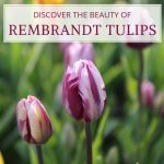 Discover the Beauty of Rembrandt Tulips