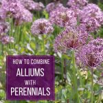 How to Combine Alliums with Perennials
