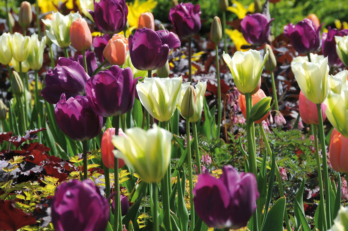 7 Tips for Planting Tulip Bulbs - Longfield Gardens