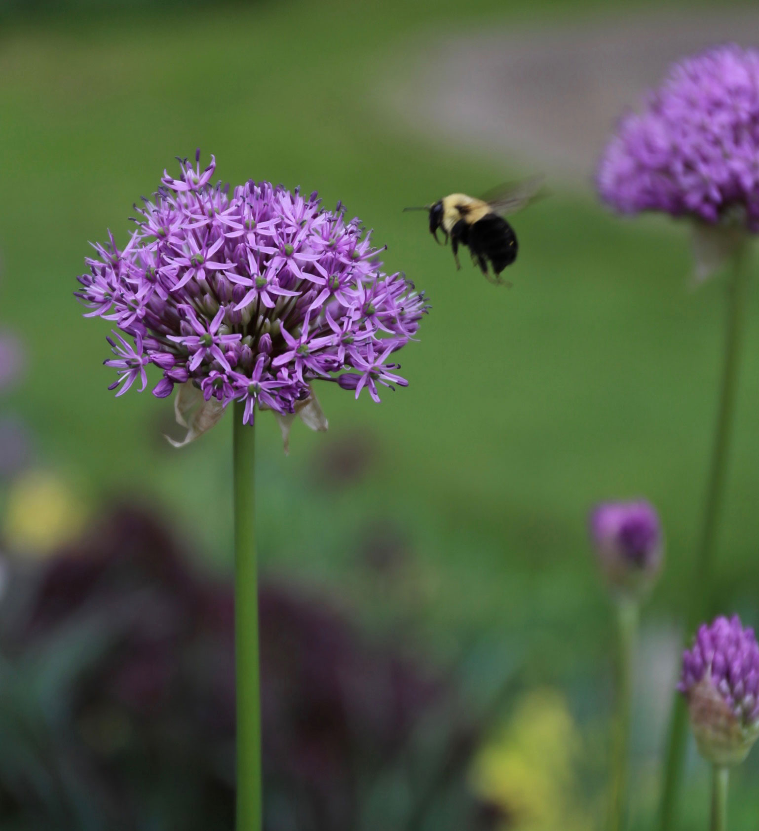 How-to-Combine-Alliums-With-Perennials-Longfield-Gardens