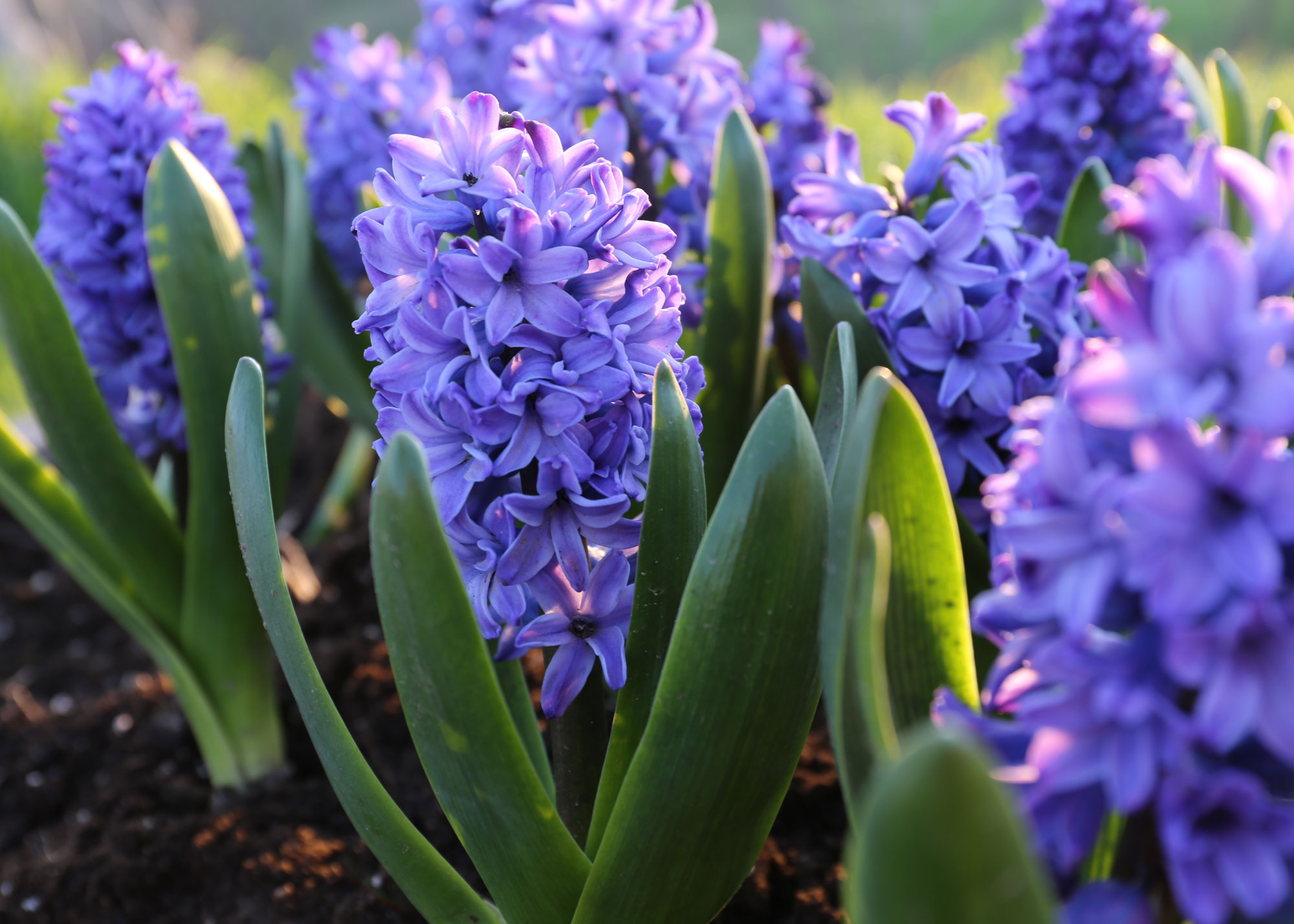 Make Room in Your Garden for Hyacinths - Longfield Gardens